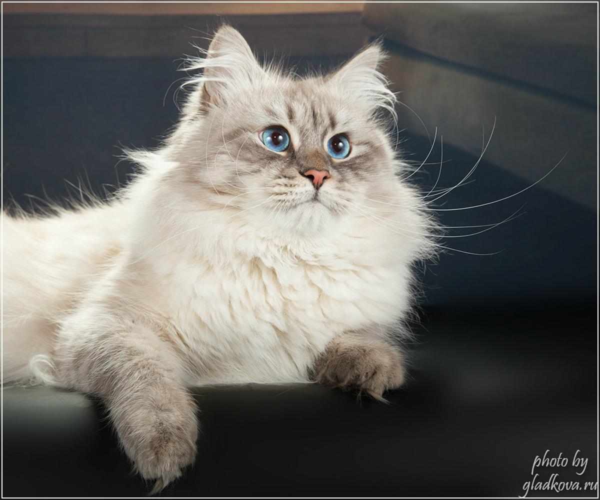 Вязка невских маскарадных котов